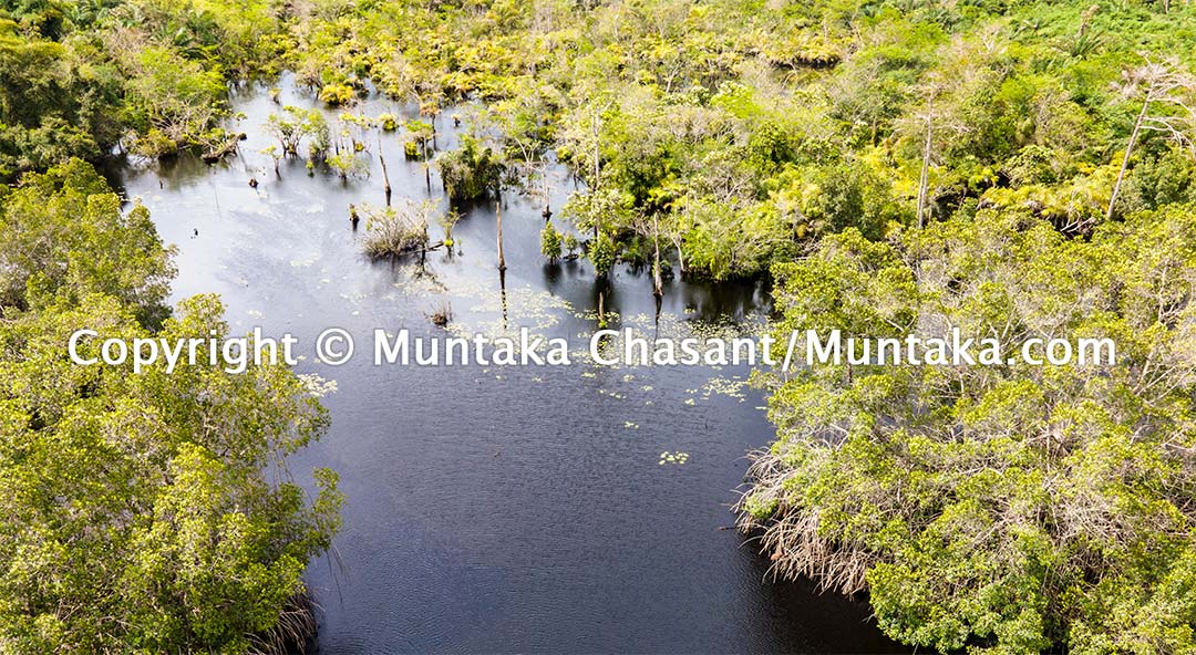 Mangroves in the Amanzule River in the Western Region of Ghana. Copyright © Muntaka Chasant