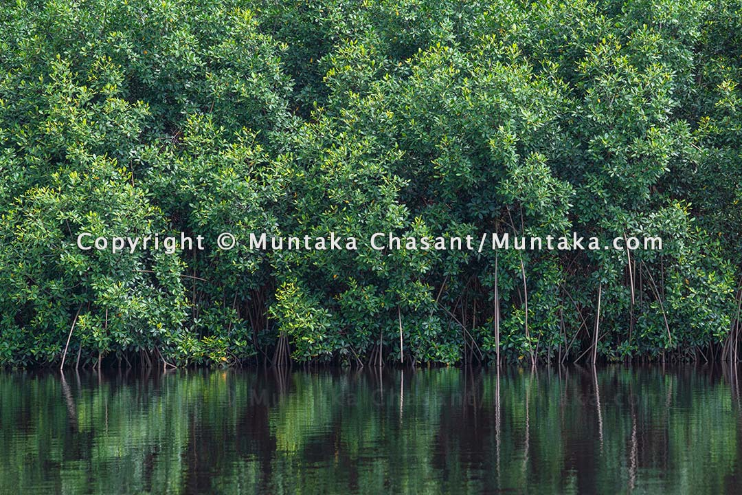 Mangrove forest at Akwidaa, the most populous southernmost human settlement in Ghana. Copyright © 2021 Muntaka Chasant