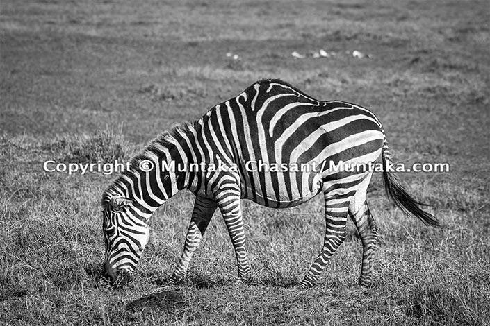Zebra With A Hump, Ngorongoro Crater, Tanzania