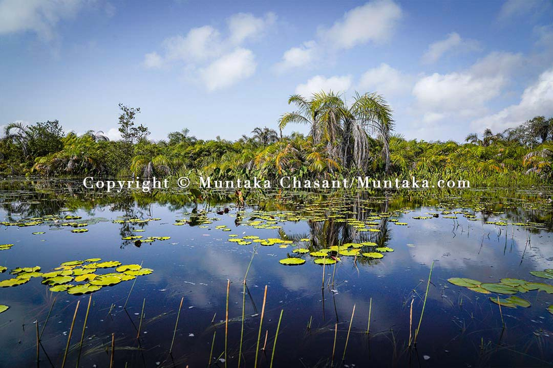 Water lilies and raffia palm trees, southwestern Ghana. Copyright © 2021 Muntaka Chasant