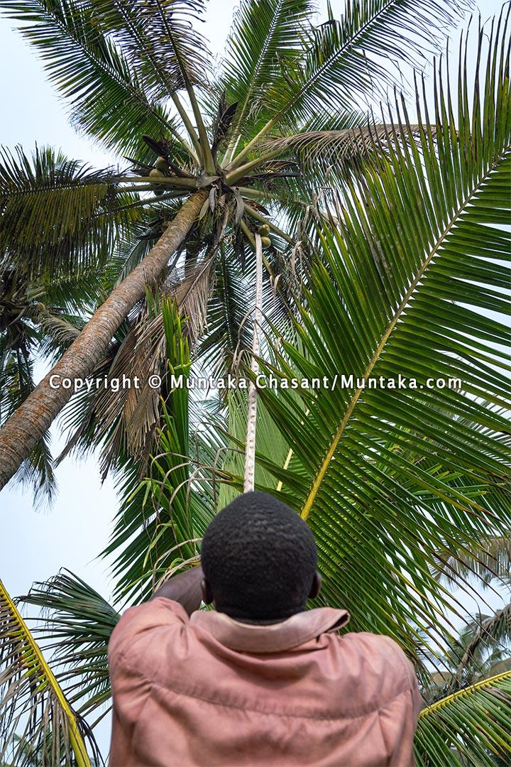 Wetland fisherman pluck coconuts in southwestern Ghana. Copyright © 2021 Muntaka Chasant