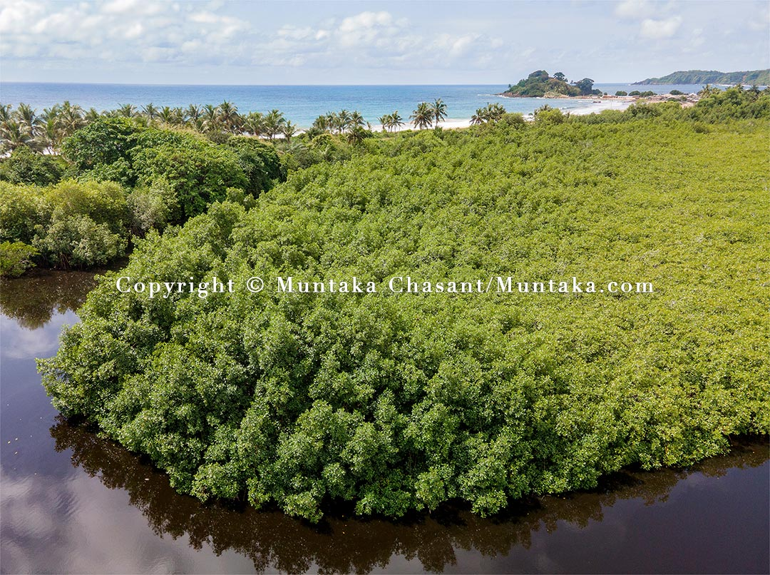 A thriving mangrove forest in the Ezile Lagoon at Akwidaa, the most populous southernmost human settlement in Ghana. Copyright © 2021 Muntaka Chasant