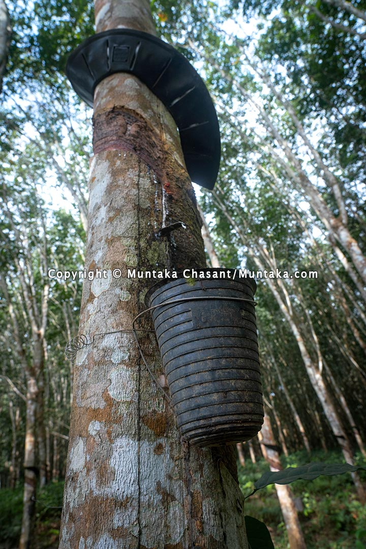 Natural rubber tree © 2021 Muntaka Chasant