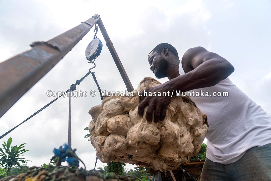 Natural rubber in Ghana. Copyright © 2021 Muntaka Chasant