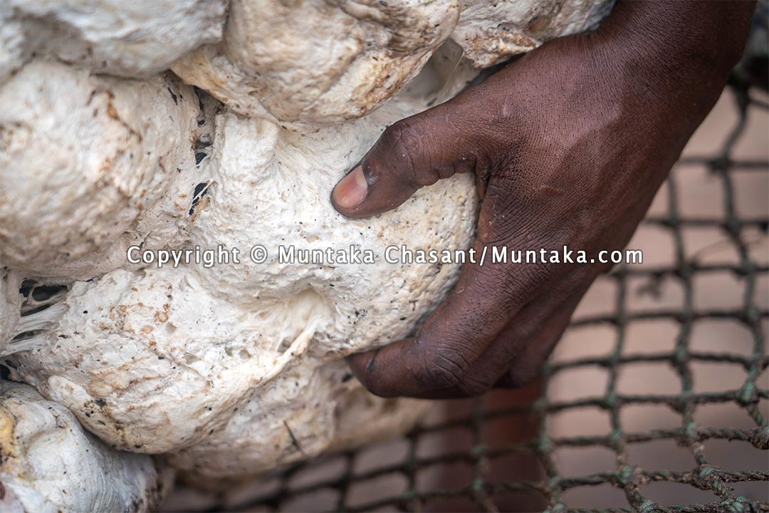 Natural rubber in Ghana. Copyright © 2021 Muntaka Chasant