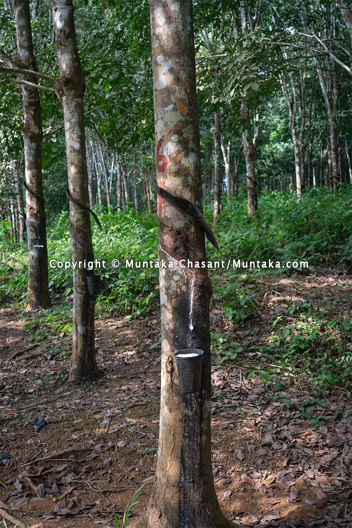 Natural rubber tapping in Ghana. Copyright © 2021 Muntaka Chasant