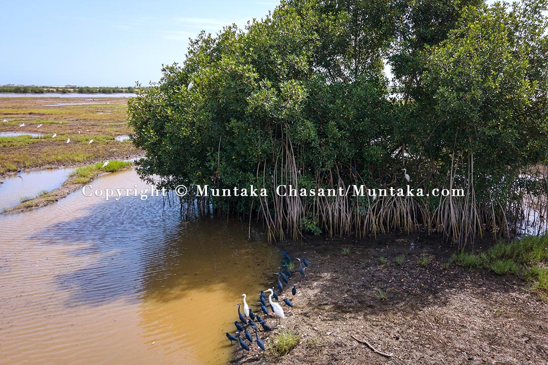 One of the last remaining 16 red mangrove trees left standing around the Densu Delta in Accra, Ghana. Copyright © 2021 Muntaka Chasant