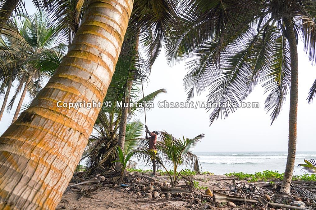 Tropical fisherman plucks coconuts on the coast of Ghana. Copyright © 2021 Muntaka Chasant