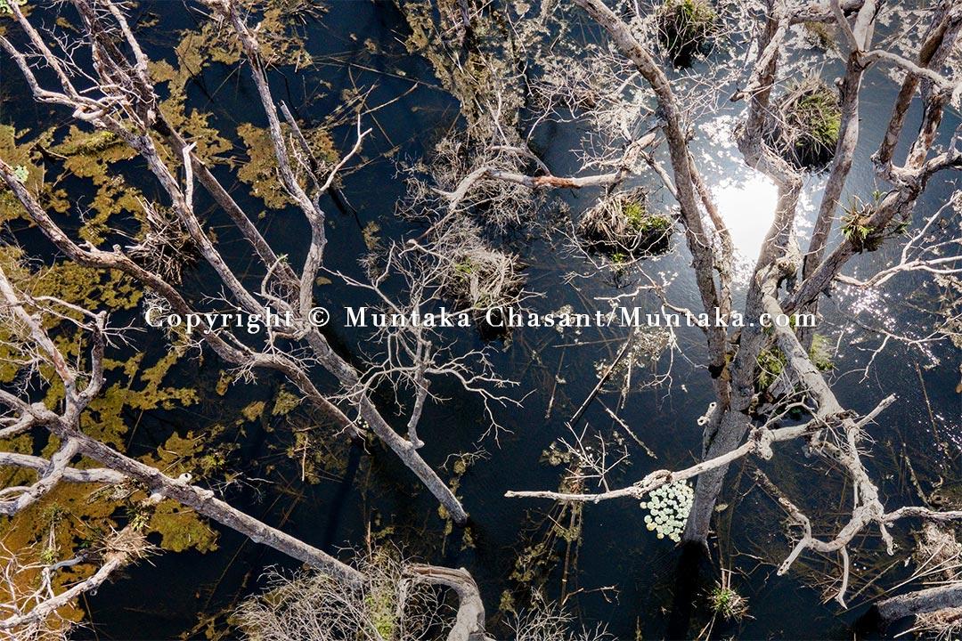 """Overexploited, these """"Apeadjas"""" trees are vanishing around Nzema. Copyright © 2021 Muntaka Chasant"""